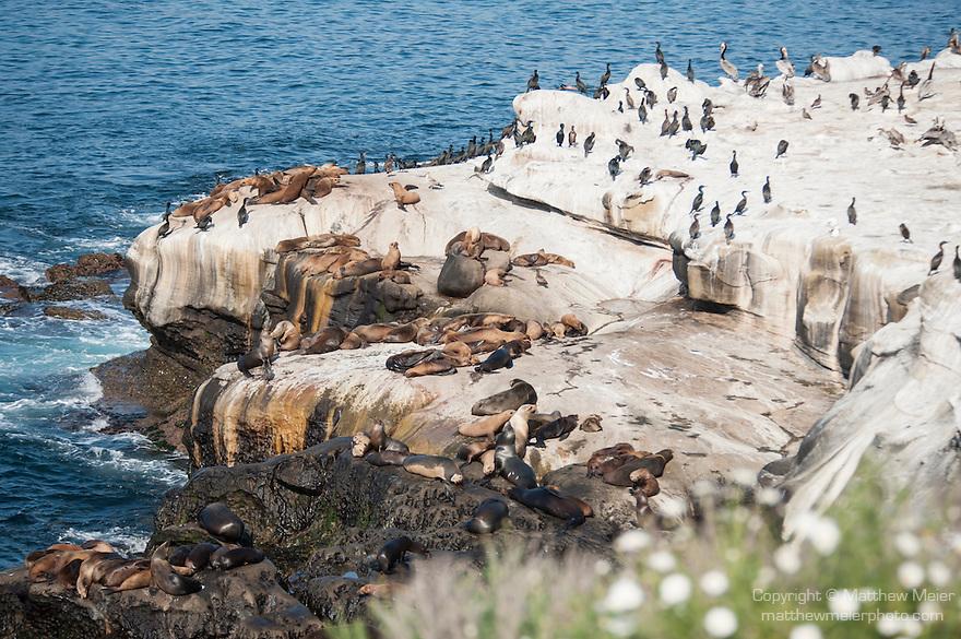 La Jolla Cove, La Jolla, California; California Sea Lions (Zalophus californianus), Brown Pelicans and Cormorants on the rocky shoreline at La Jolla Cove