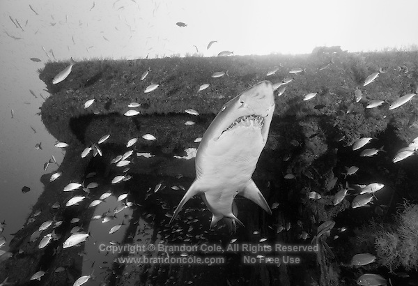TP0094-Dbw. Sand Tiger Shark (Carcharias taurus) swims out of a companionway on the shipwreck of the Aeolus, a 409-foot long tanker sunk on purpose in 1988 to create an artificial reef. Many of the wrecks off the North Carolina coast attract these slow moving, unusual and fascinating sharks, which sometimes aggregate in groups of twenty or more. North Carolina, USA, Atlantic Ocean. Color photo converted to black and white.<br /> Photo Copyright &copy; Brandon Cole. All rights reserved worldwide.  www.brandoncole.com
