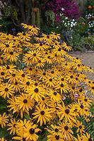 Yellow flower perennial, Rudbeckia 'Goldstrum' in California garden; Schneck Garden