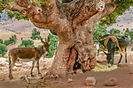 Pack donkeys tied to a tree for a rest, Morocco