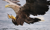 Sea eagle norway
