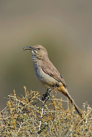 581970009 a wild lecontes thrasher toxostoma lecontei perches on a desert plant in kern county california united states