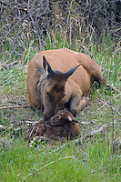 Elk (Cervus canadensis) calves in Yellowstone begin to arrive around Memorial Day. I was fortunate to witness the entire birth of this little one. The bonding which occurs between mother and calf after the birth is a wondrous thing to witness. You can see the entire birth sequence in the other gallery in this collection or under Grazers and Browser Collection. Gardiner Canyon, Yellowstone.