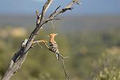 Hoopoe (Upupa epops), Castilla La Mancha, Spain