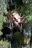 Bloody antlered moose. This bull moose has just rubbed off the velvet of his antlers, a moose's velvet is full of blood vessels. Grand Teton National Park
