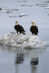 A reflection of two bald eagles perched on a snow pile in Homer, Alaska.