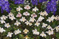 Pahiopedilum armeniacum hybrid orchids
