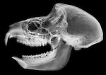 X-ray image of a hyrax and baboon amalgamation (white on black) by Jim Wehtje, specialist in x-ray art and design images.
