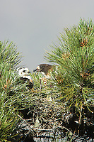 Short-tailed Hawk (Buteo brachyurus) nest, adult feeding nestling; Arizona
