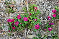 Supported by an old-fashioned bamboo trellis Rosa 'Ards Rover' grows against the stone retaining wall below the garden