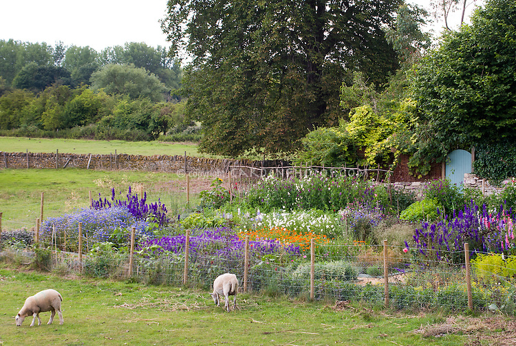 Lush flower cutting garden with delphinium, bachelor buttons Centaurea, sweetpeas climbing teepee Lathyrus odoraus, cosmos, Icelandic Poppies Papaever, Euphorbia, with homemade wire fence, sarm animals heep grazing in field outside