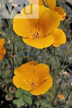 California Poppy ,Eschscholtzia californica,