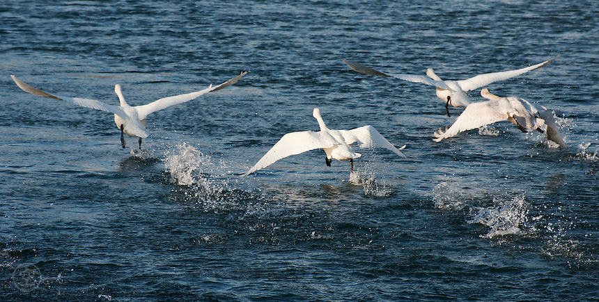 Tundra swans taking off from the Sai River in late winter during their yearly migration, Nagano, Japan.
