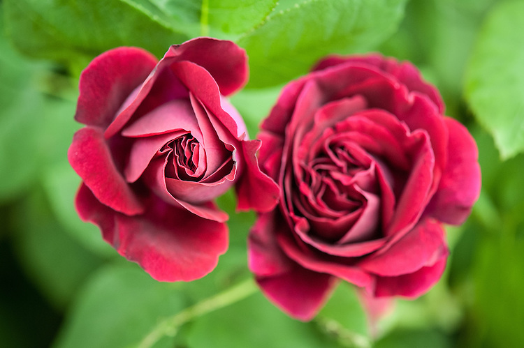 Rosa 'Souvenir Du Docteur Jamain', late May. A climbing hybrid perpetual rose. From Lacharme, France, 1865.