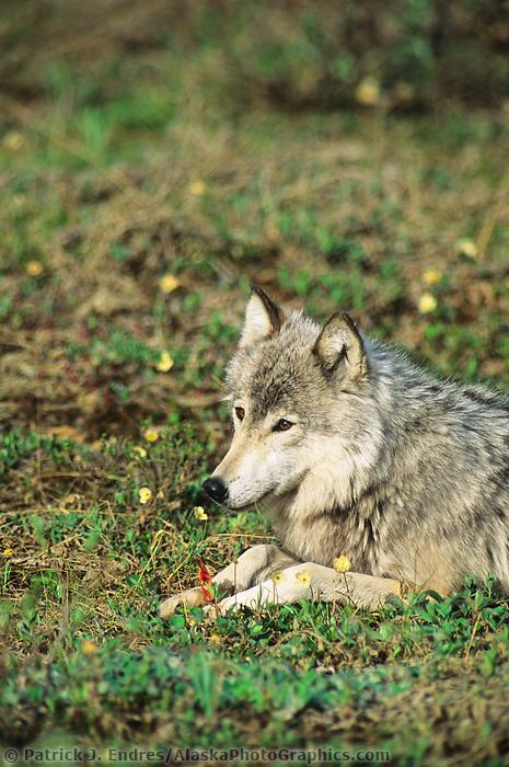 Gray wolf chews on caribou bone, Denali National Park, Alaska