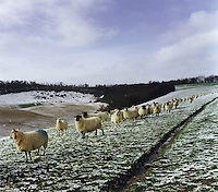 Sheep on a hillside covered with snow.
