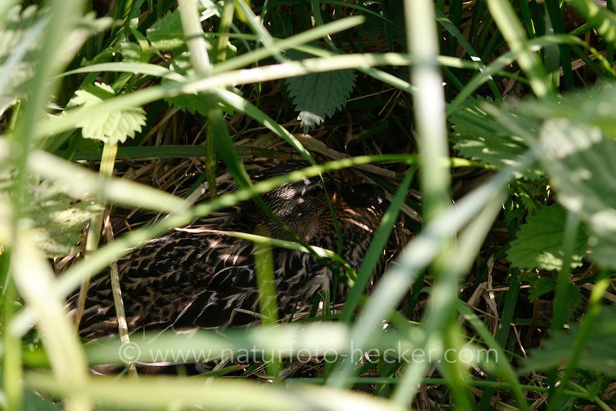 Stockente, Weibchen brütend auf dem gut versteckten Nest, Tarnung, Anas platyrhynchos, mallard