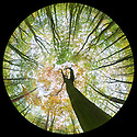 Looking up at autumnal beech {Fagus sylvatica} woodland canopy, photographed with a circular fisheye lens. Derbyshire, UK. October.