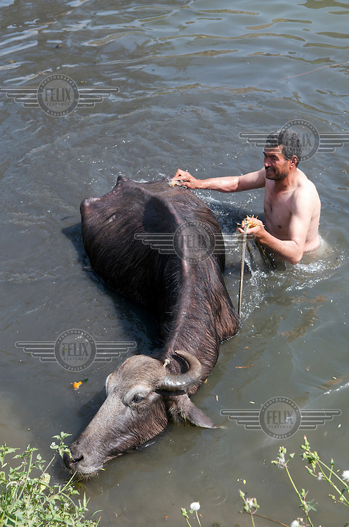 Farmer washing his ox in an irrigation channel. This is a contributor to the pollution of water resources in the region. The irrigation channels are fed by waters from the River Nile, allowing farmers to produce crops in the Nile Delta..