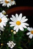 Oxeye daisy.