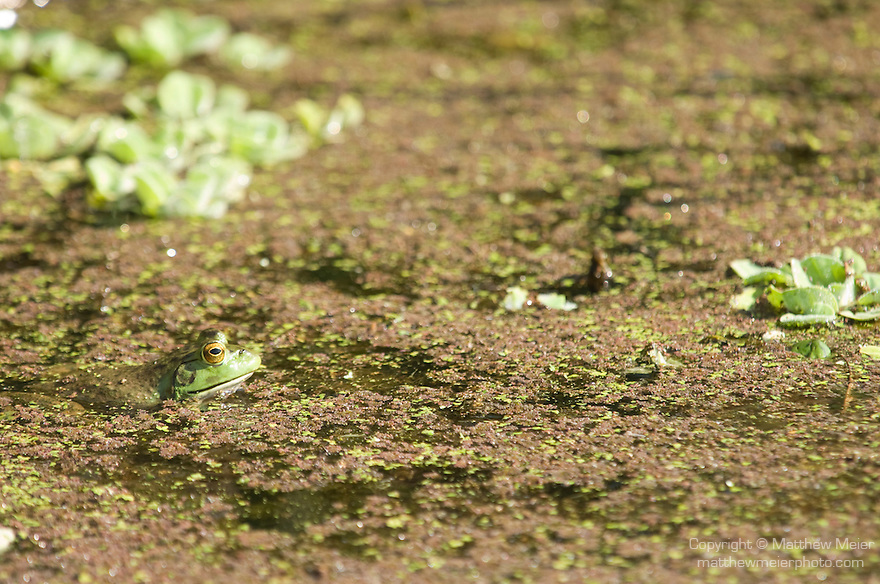 Columbia Ranch, Brazoria County, Damon, Texas; an American Bullfrog (Rana catesbeiana) sits at the water's surface in the slough