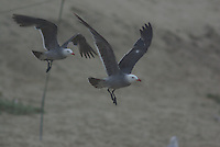 Heermann's Gull in flight. Seen on the California coast.