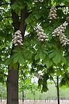 Chestnut tree in bloom, Tuileries Gardens (Jardin des Tuileries) in spring, Paris, France, Europe