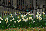 narcissus blooms and wine vine