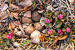 White-crowned sparrow eggs remain well concealed amidst leaf litter and a flowering rhododendron known as Lapland Rosebay.