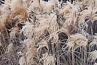 Fountain grass in the snow (Miscanthus sinensis)