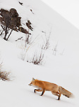 An individual red fox walks among the rocks on a snowy hill in Yellowstone National Park.