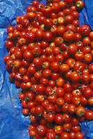Vegetable seed-saving, using over ripened red tomato, harvested picked and lying on blue tarp on ground