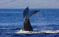 Humpback whale tail off the island of Maui.  The island of Lanai is in the distance.