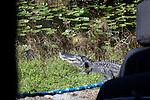 Roadside Alligator seen from the tram, Shark Valley area, Everglades National Park, Florida, USA