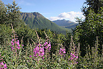 fireweed in Arctic Valley