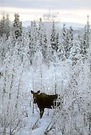 Matanuska Area, Alaska, U.S.A, January 1989. A sudden cold wave struck Alaska resulting to the temperature falling under 50 degrees Centigrade (58 degrees Fahrenheit). Mooses in the wild.