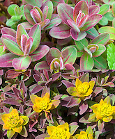 Euphorbia polychroma Bonfire in two stages, early spring color and in yellow flower, composite picture