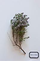 Europe/France/Ile-de-France/75012/Paris:Thym - thymus vulgaris.<br />  Plantes m&eacute;dicinales- Jardin de l'Ecole du Breuil dans le Bois de Vincennes