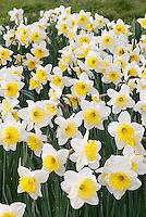Daffodil Ice Follies (Narcissus) massed