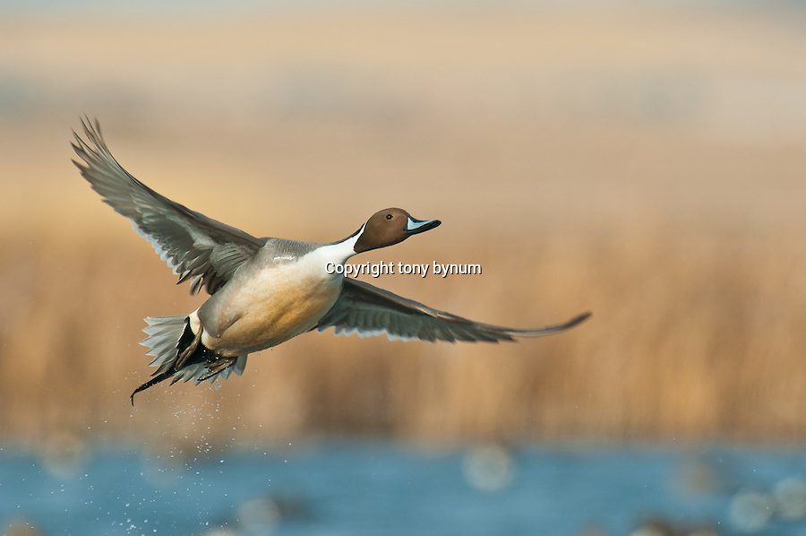pintail drake taking off from water | Tony Bynum ...
