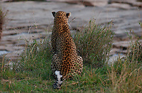 A solitarie Leopard, rests on the shores of the Mara river in the Tanzania side. Very elusive cats, usualy live alone and are mostly nocturnal. (PHOTO: MIGUEL JUAREZ LUGO).