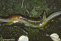 1Y02-008z  Earthworm - nightcrawlers mating - Lumbricus terrestris