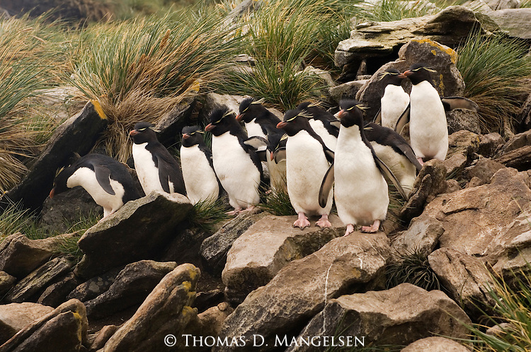 Rockhopper penguins on West Point Island in the Falkland Islands.