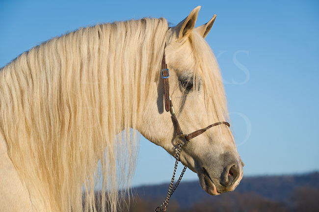 White horse head shot with long full mane hair, Arabian stallion taken in the last golden light of day, Pennsylvania, USA.