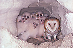 Barn owls and owlets, Washington