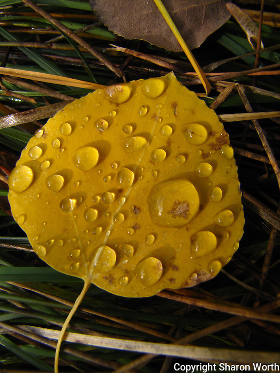 A golden leaf in the grass daubed with raindrops.
