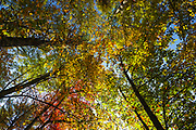 Lake Massabesic Watershed - Canopy of hardwood forest during the autumn months in Auburn, New Hampshire USA.