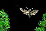 Pine Hawk Moth, Hyloicus pinastri, in flight, flying through pine leaves, high speed photographic technique.United Kingdom....