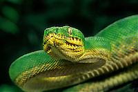 412304005 a captive emerald tree boa corallus carina coils on a small tree branch at a zoo in california