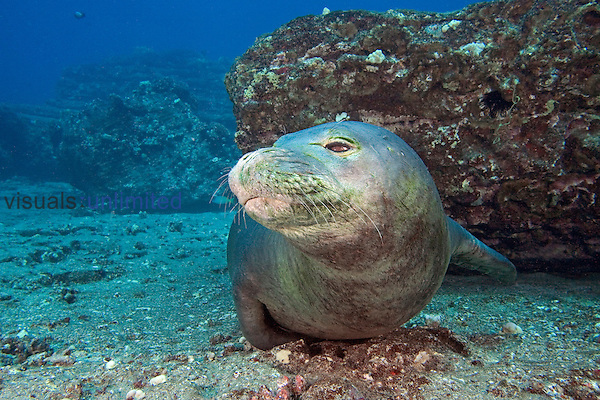 Hawaiian Monk Seal (Monachus schauinslandi), an endemic and endangered species, Hawaii, USA.